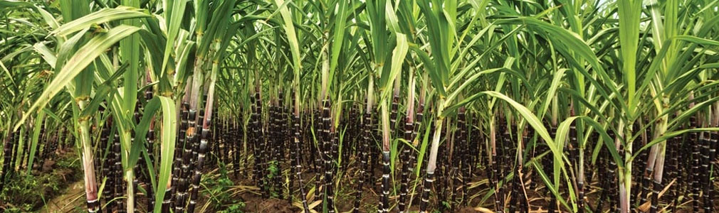 Clinker Picture Of Corn : Welcome to sri parvathi exports home page
